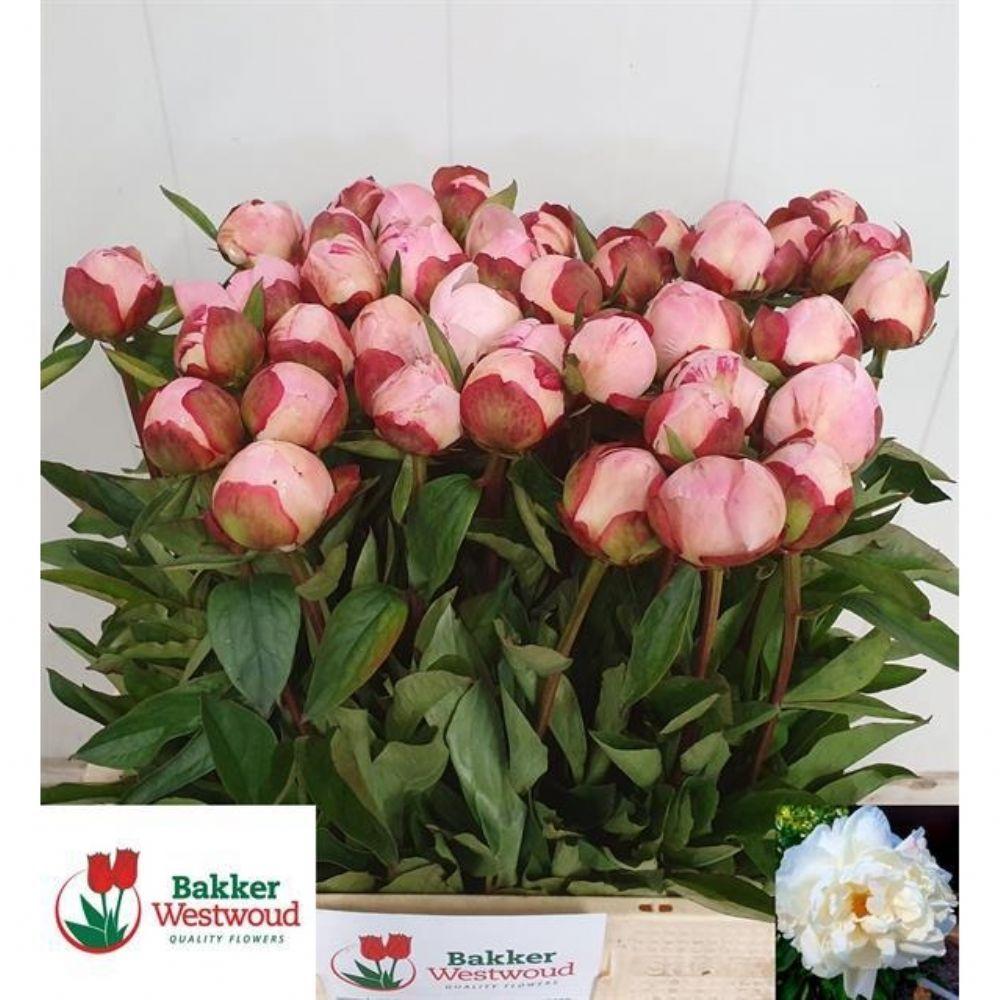 ACZ Paeonia Gardenia (İthal Şakayık-5dal-55cm)   İthal Şakayık   İthal  Kesme Çiçekler   Türkiye'nin En Büyük Online Toptan Çiçek Alışveriş Sitesi  www.toptancicek.com
